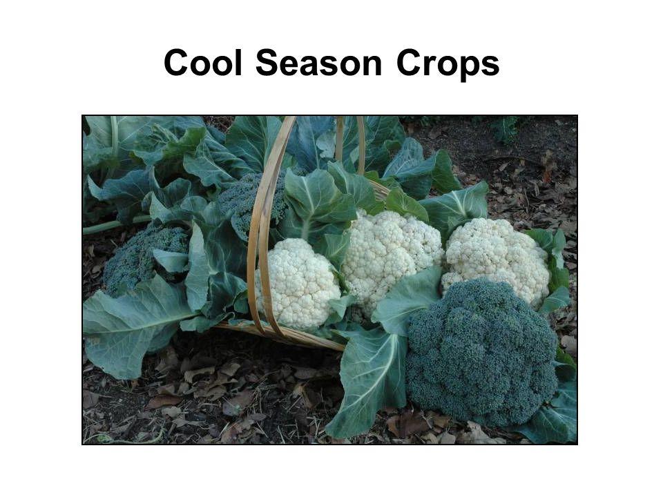 Cool Season Crops