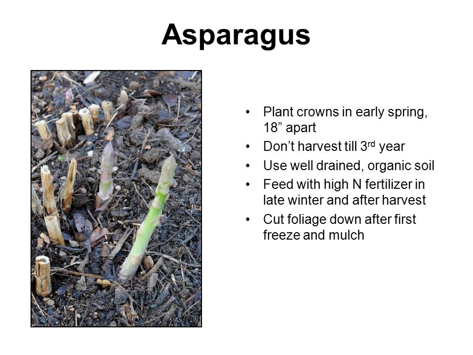 Asparagus Plant crowns in early spring, 18 apart