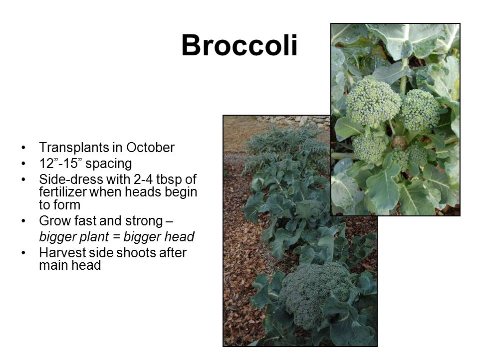 Broccoli Transplants in October 12 -15 spacing