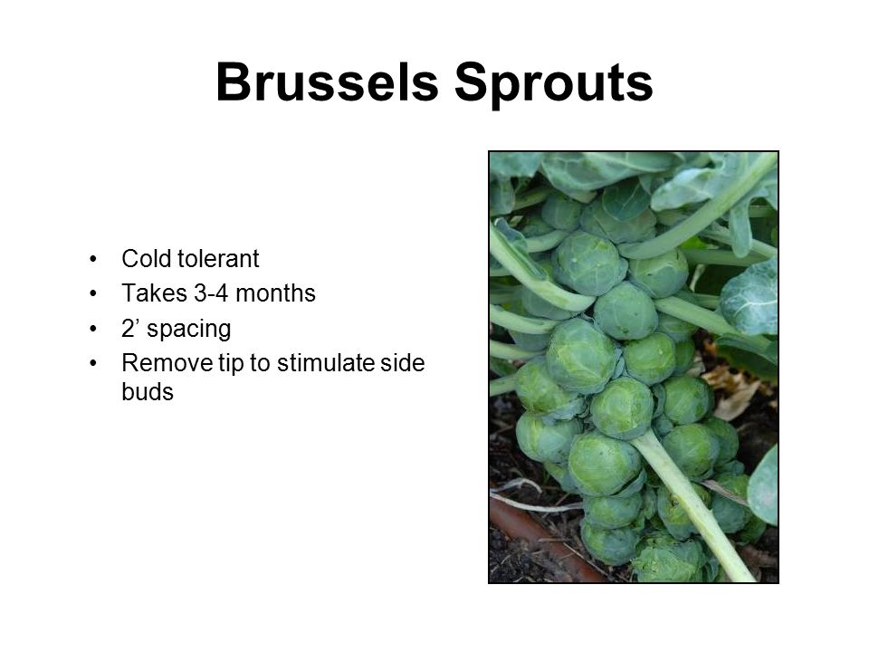 Brussels Sprouts Cold tolerant Takes 3-4 months 2' spacing