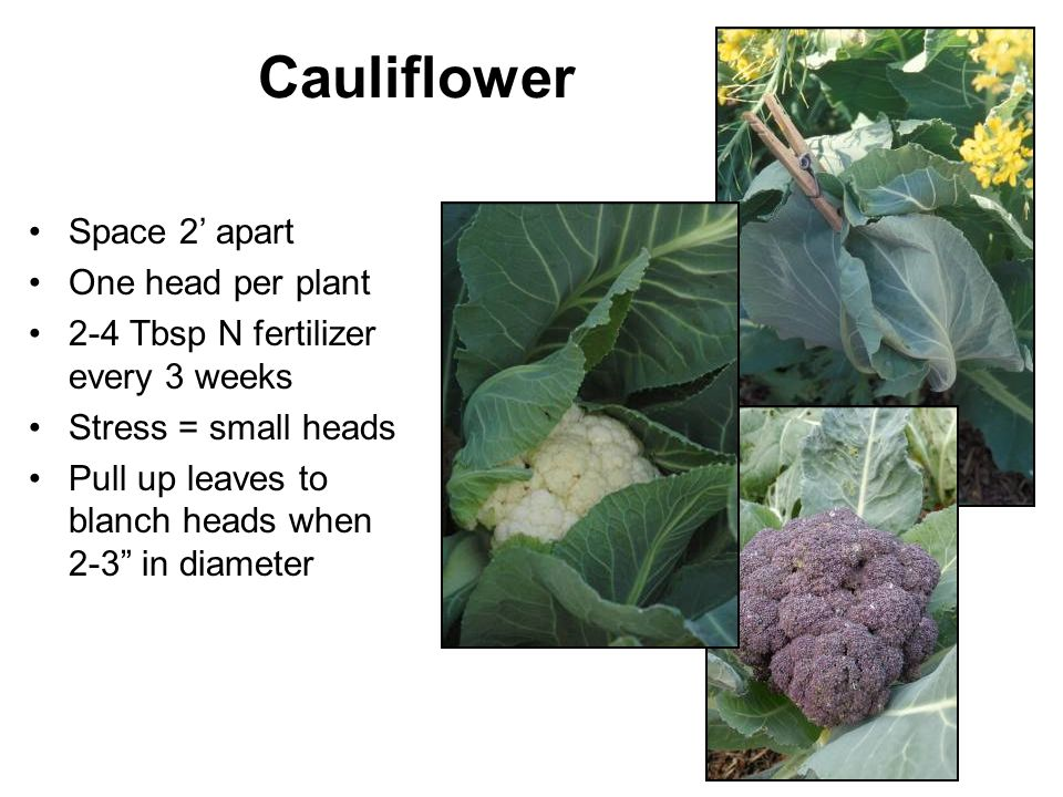 Cauliflower Space 2' apart One head per plant