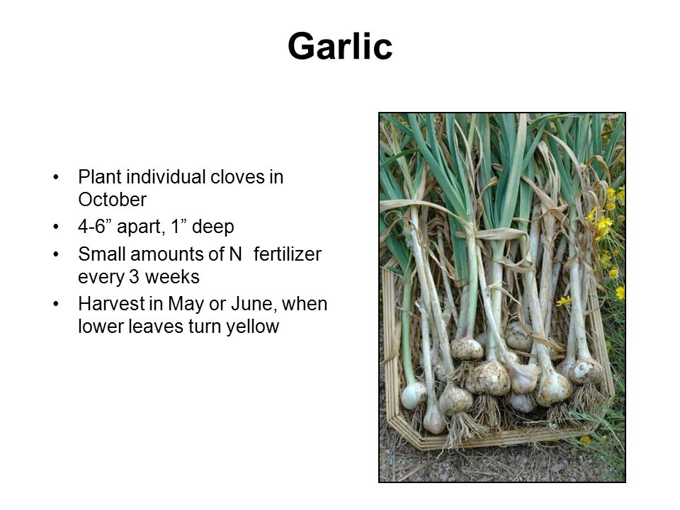 Garlic Plant individual cloves in October 4-6 apart, 1 deep