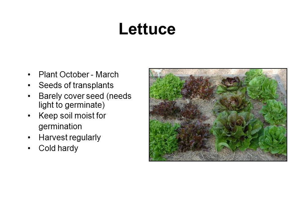 Lettuce Plant October - March Seeds of transplants