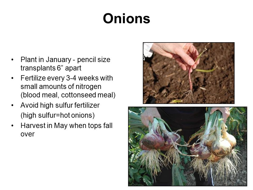 Onions Plant in January - pencil size transplants 6 apart