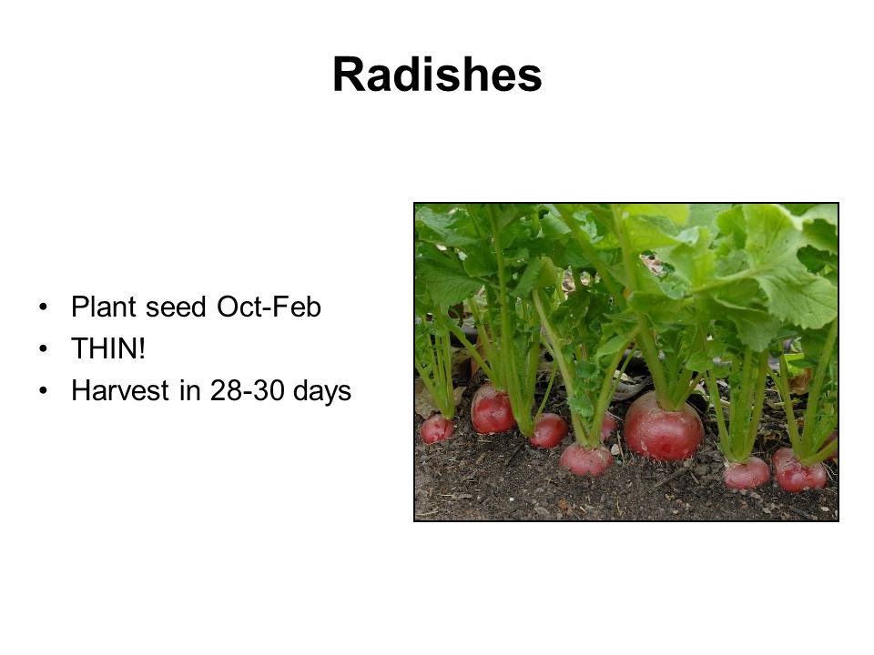 Radishes Plant seed Oct-Feb THIN! Harvest in 28-30 days