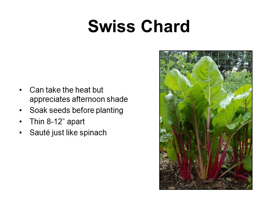 Swiss Chard Can take the heat but appreciates afternoon shade