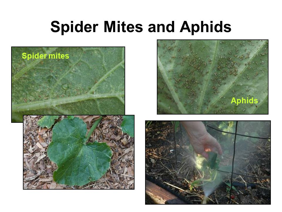 Spider Mites and Aphids