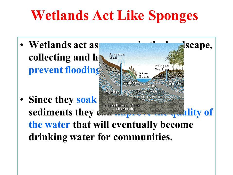 Wetlands Act Like Sponges