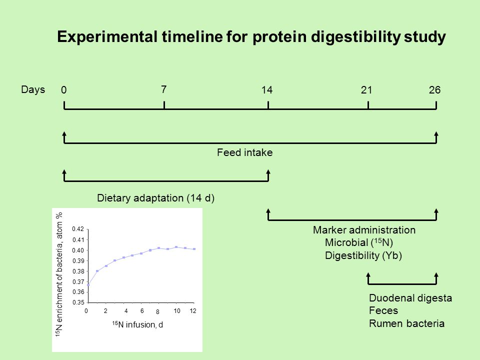 Experimental timeline for protein digestibility study