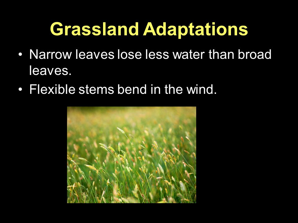 Grassland Adaptations