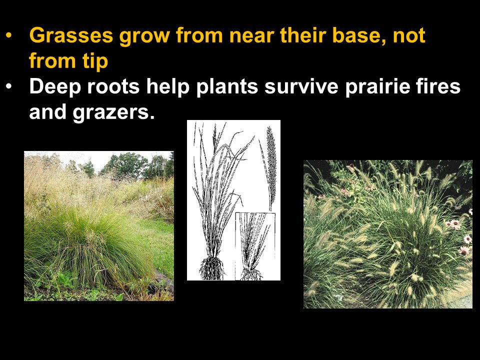 Grasses grow from near their base, not from tip