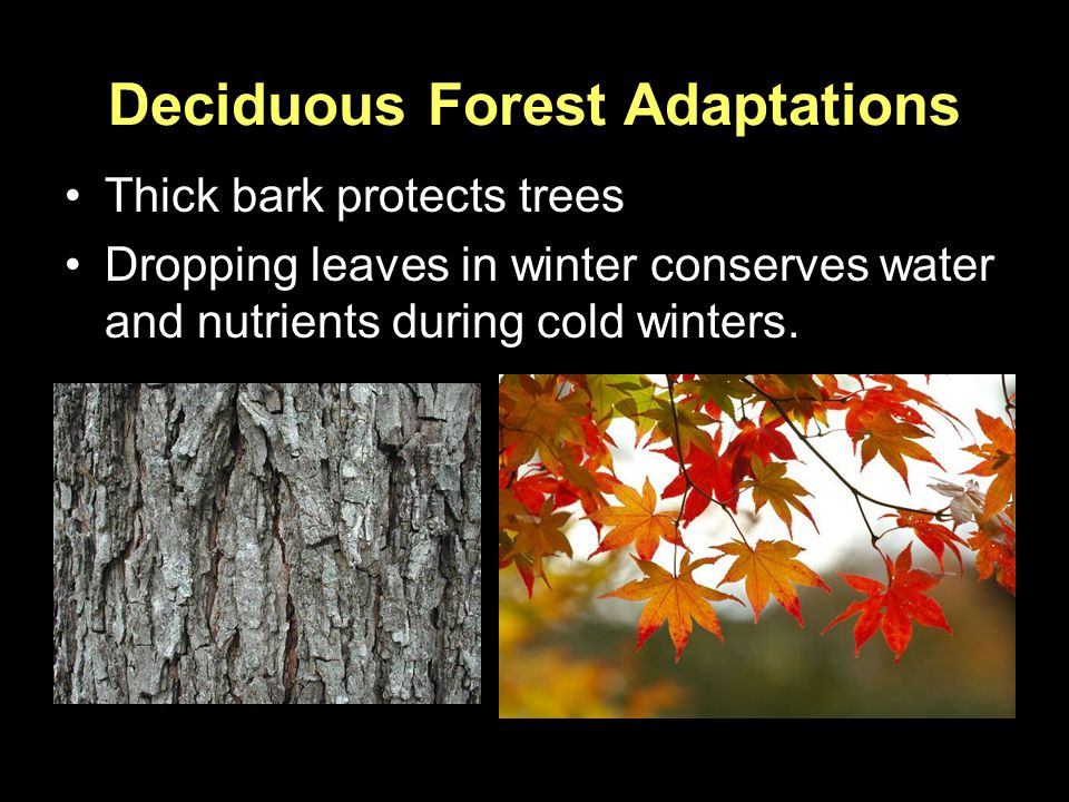 Deciduous Forest Adaptations