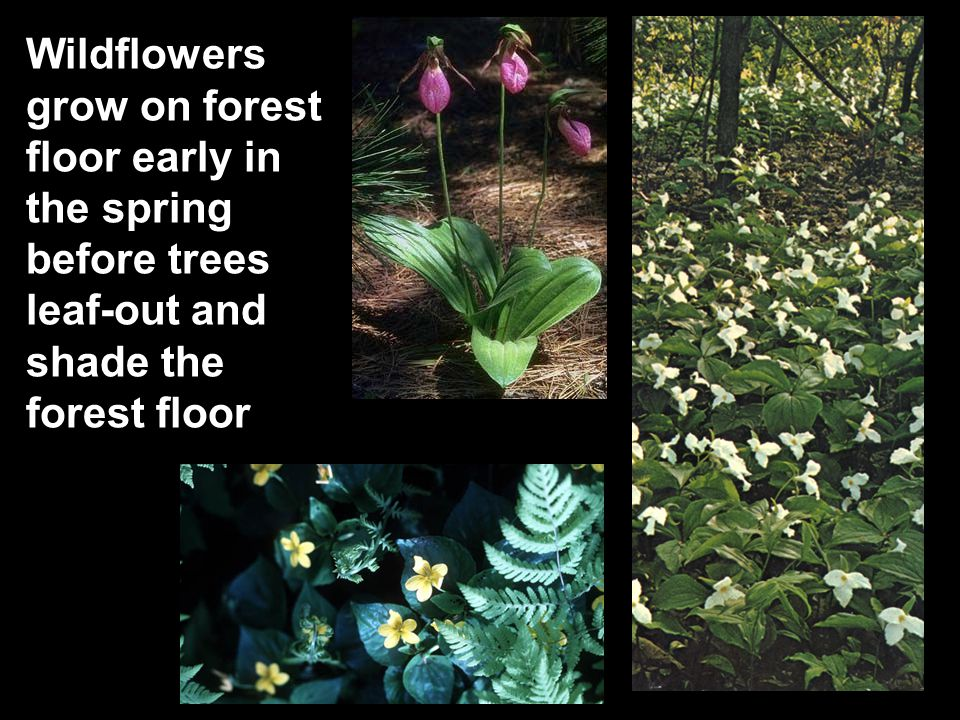 Wildflowers grow on forest floor early in the spring before trees leaf-out and shade the forest floor