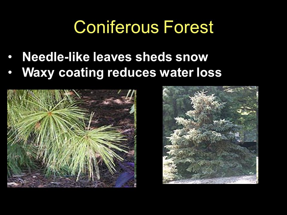 Coniferous Forest Needle-like leaves sheds snow