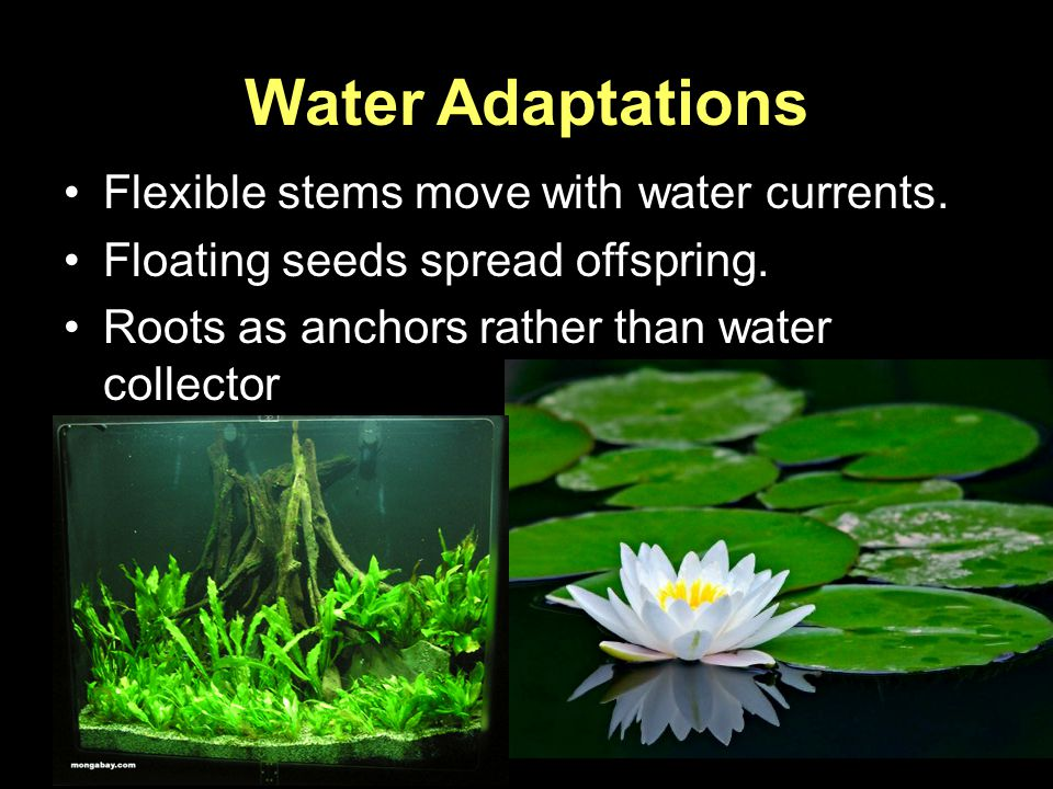 Water Adaptations Flexible stems move with water currents.