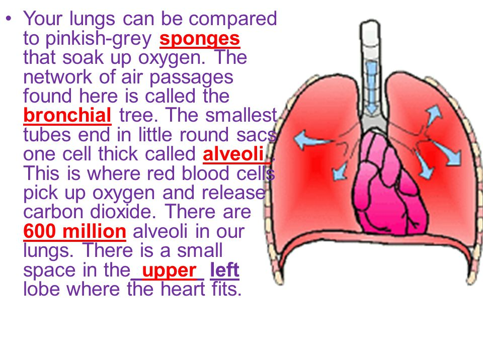 Your lungs can be compared to pinkish-grey sponges that soak up oxygen