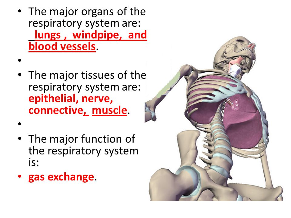 The major organs of the respiratory system are: _lungs , windpipe, and blood vessels.