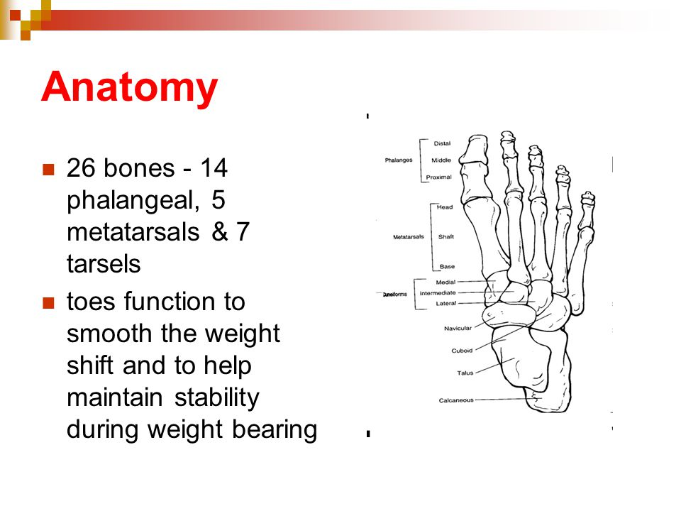 Anatomy 26 bones - 14 phalangeal, 5 metatarsals & 7 tarsels