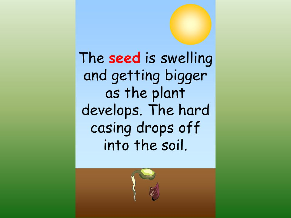 The seed is swelling and getting bigger as the plant develops
