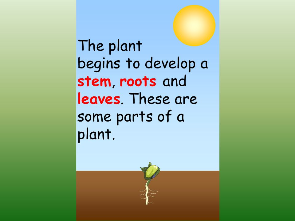 The plant begins to develop a stem, roots and leaves. These are some parts of a plant.