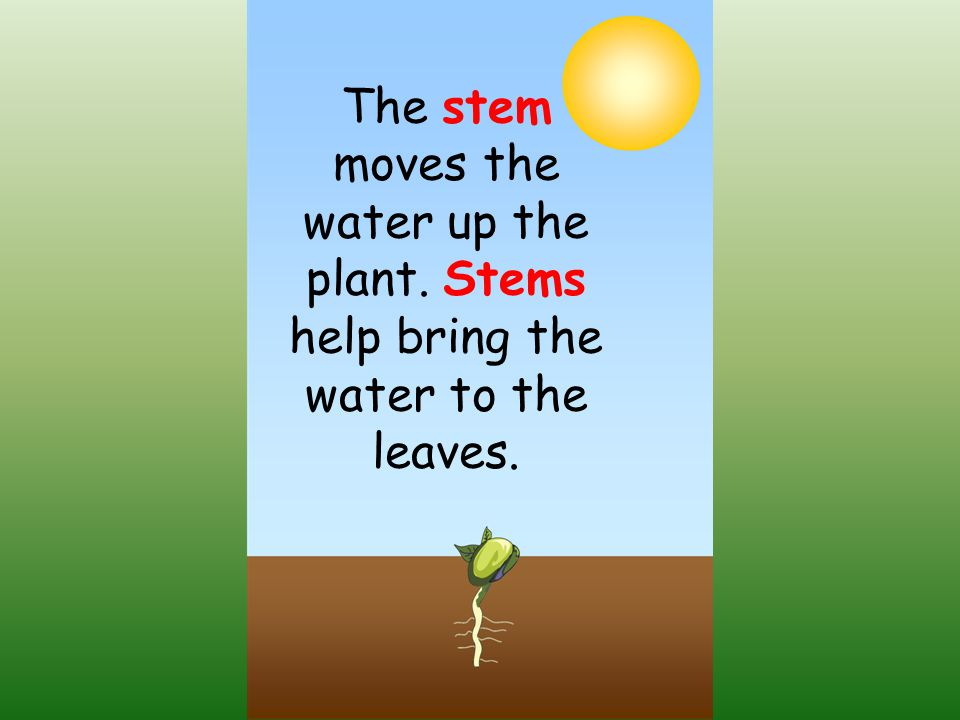 The stem moves the water up the plant