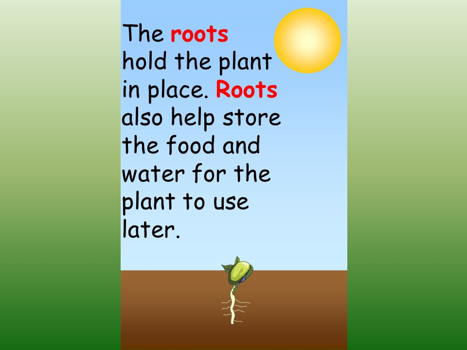 The roots hold the plant in place.