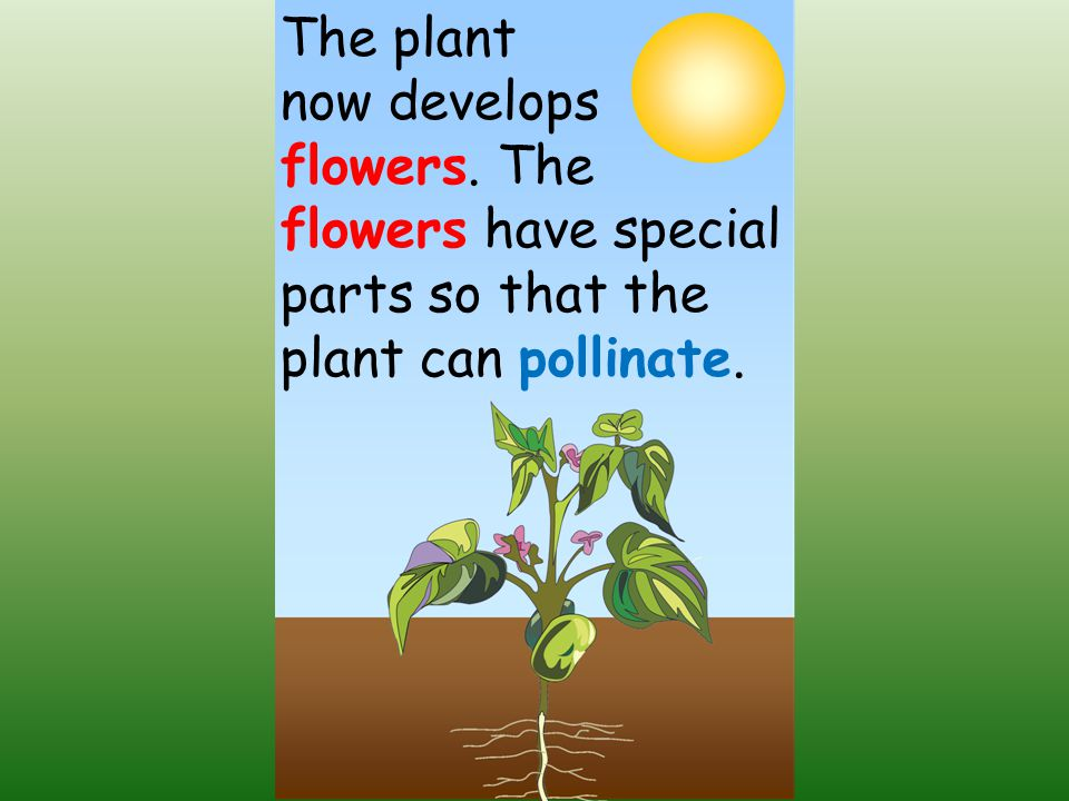 The plant now develops flowers. The flowers have special parts so that the plant can pollinate.