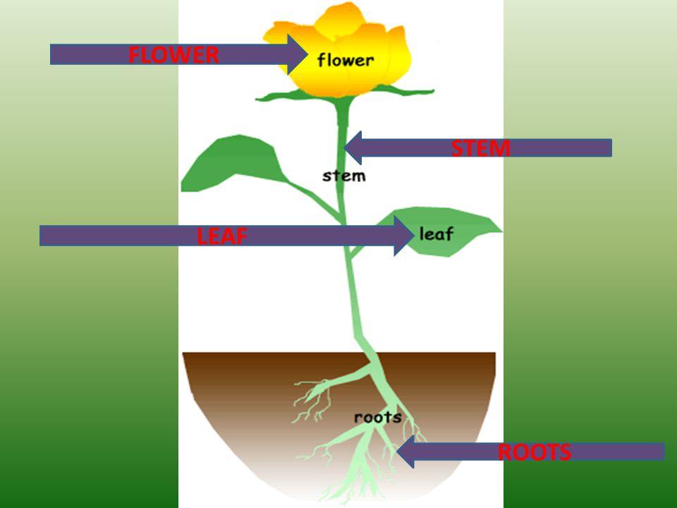 FLOWER STEM LEAF ROOTS