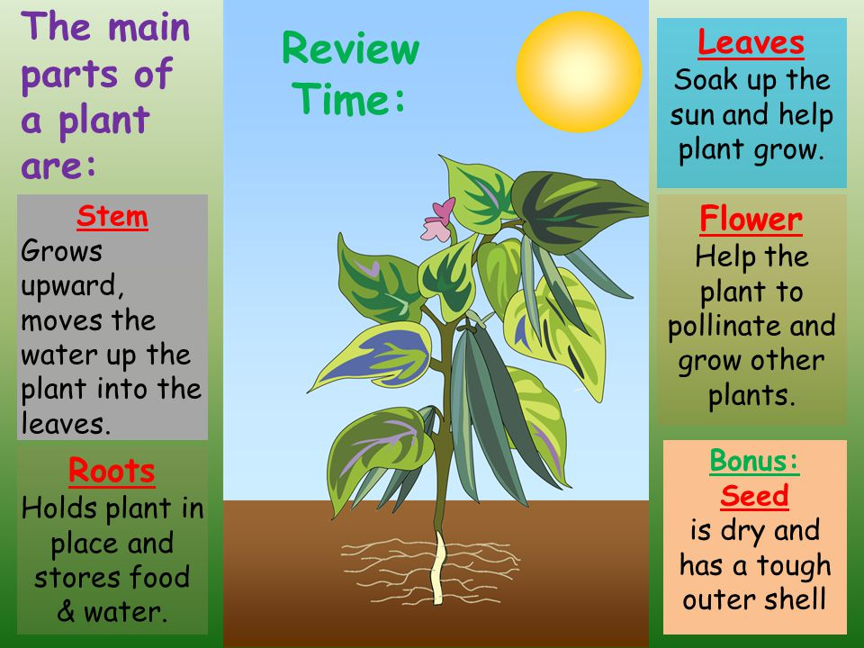 Review Time: The main parts of a plant are: Leaves Flower Roots