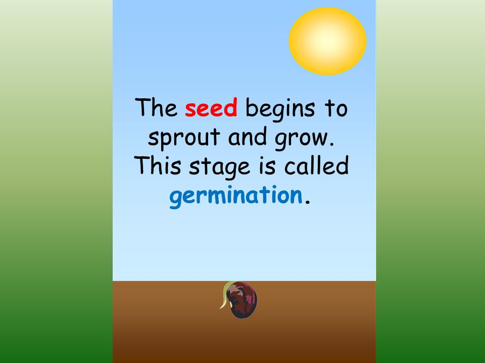 The seed begins to sprout and grow. This stage is called germination.