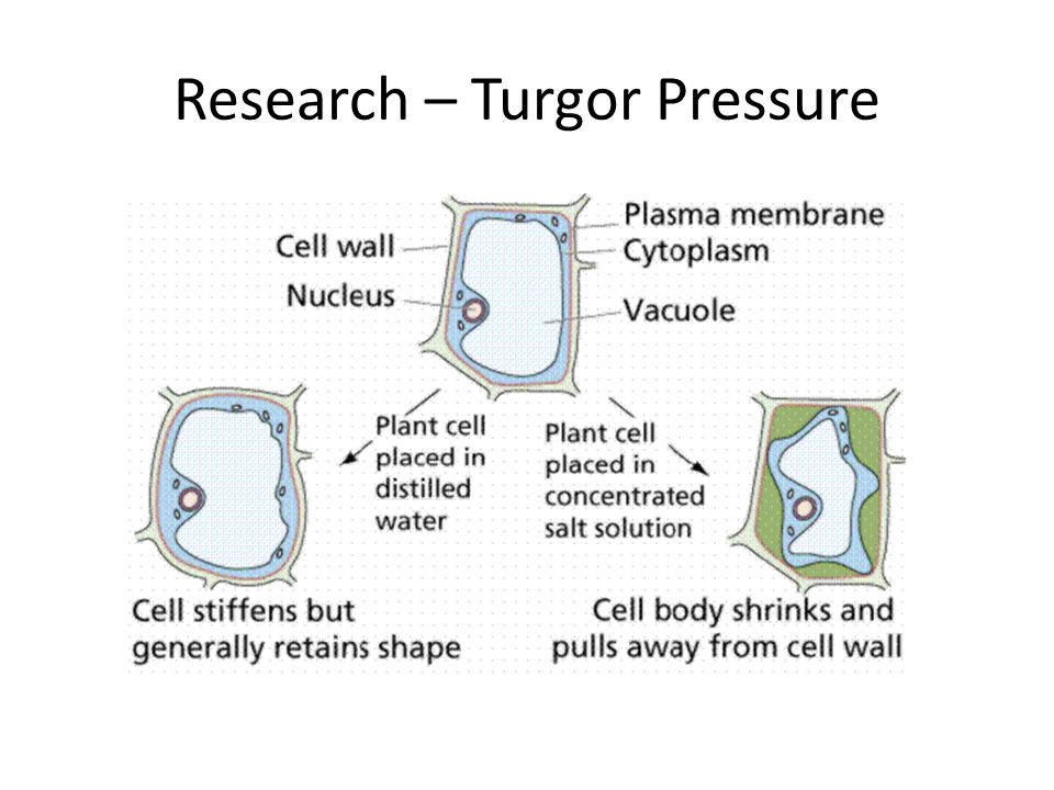 Research – Turgor Pressure