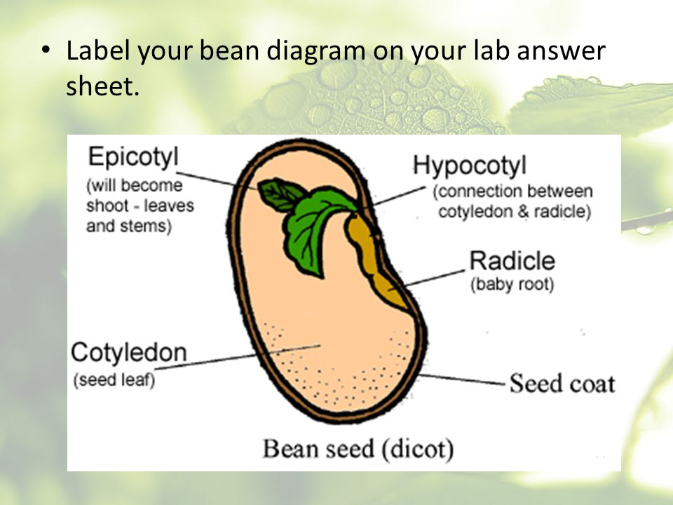 Label your bean diagram on your lab answer sheet.