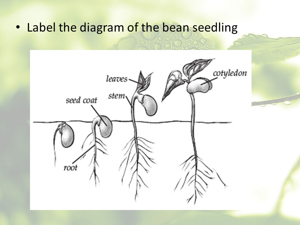 Label the diagram of the bean seedling
