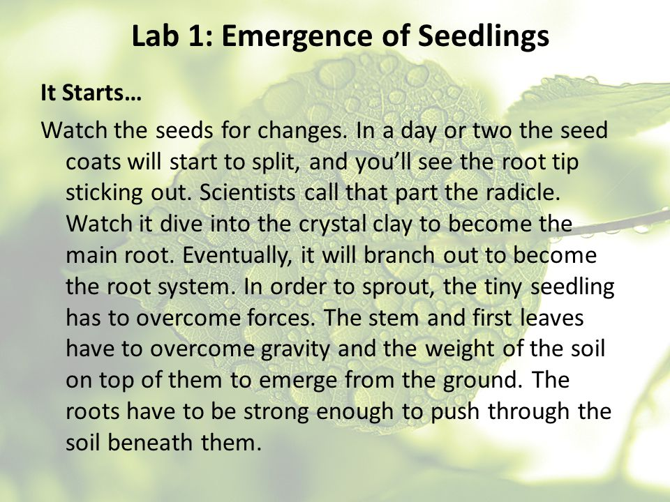 Lab 1: Emergence of Seedlings