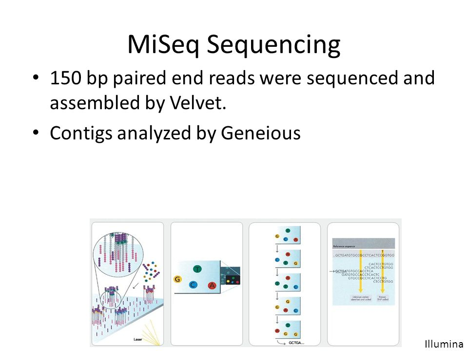 MiSeq Sequencing 150 bp paired end reads were sequenced and assembled by Velvet. Contigs analyzed by Geneious.