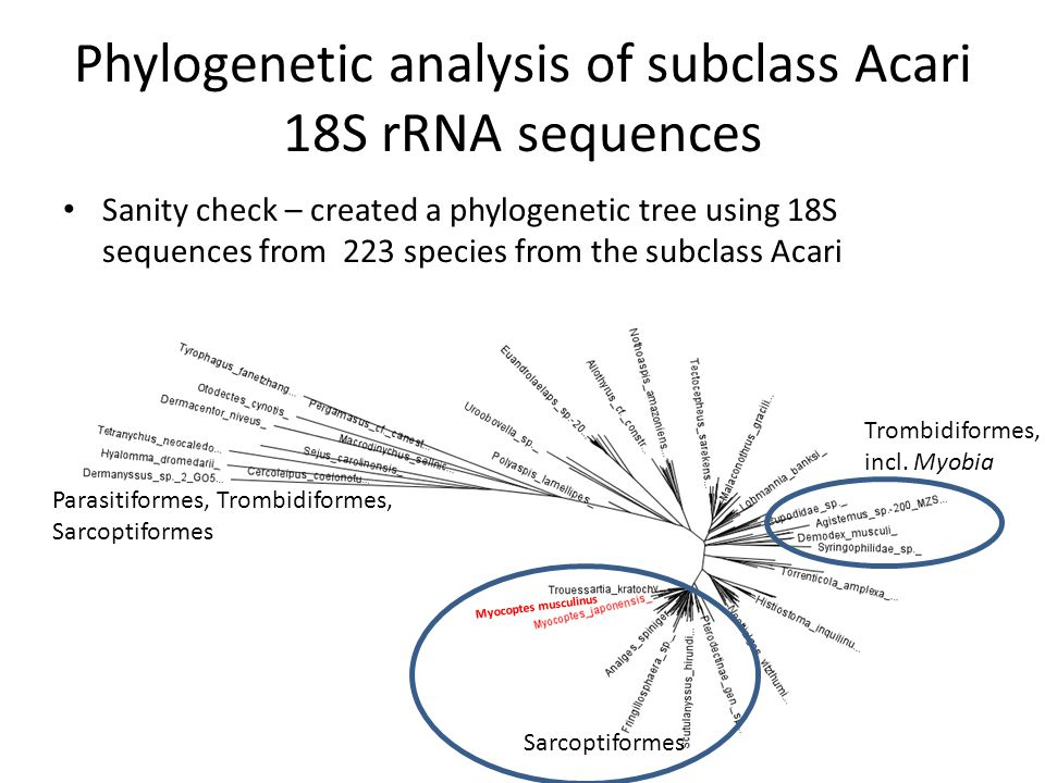 Phylogenetic analysis of subclass Acari 18S rRNA sequences