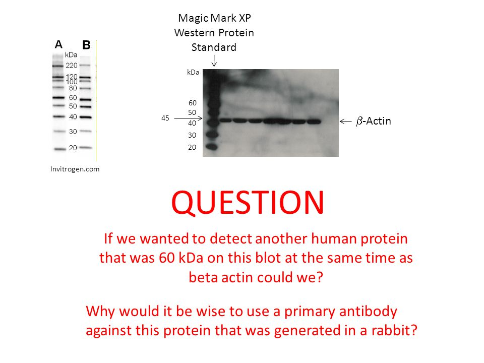 Magic Mark XP Western Protein Standard