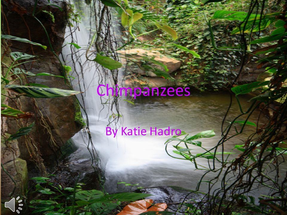 Chimpanzees By Katie Hadro