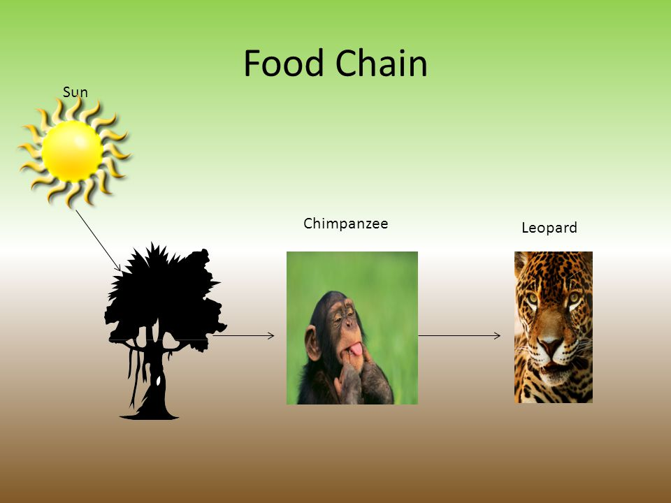 Chimpanzee Food Chain on 7th Grade Science