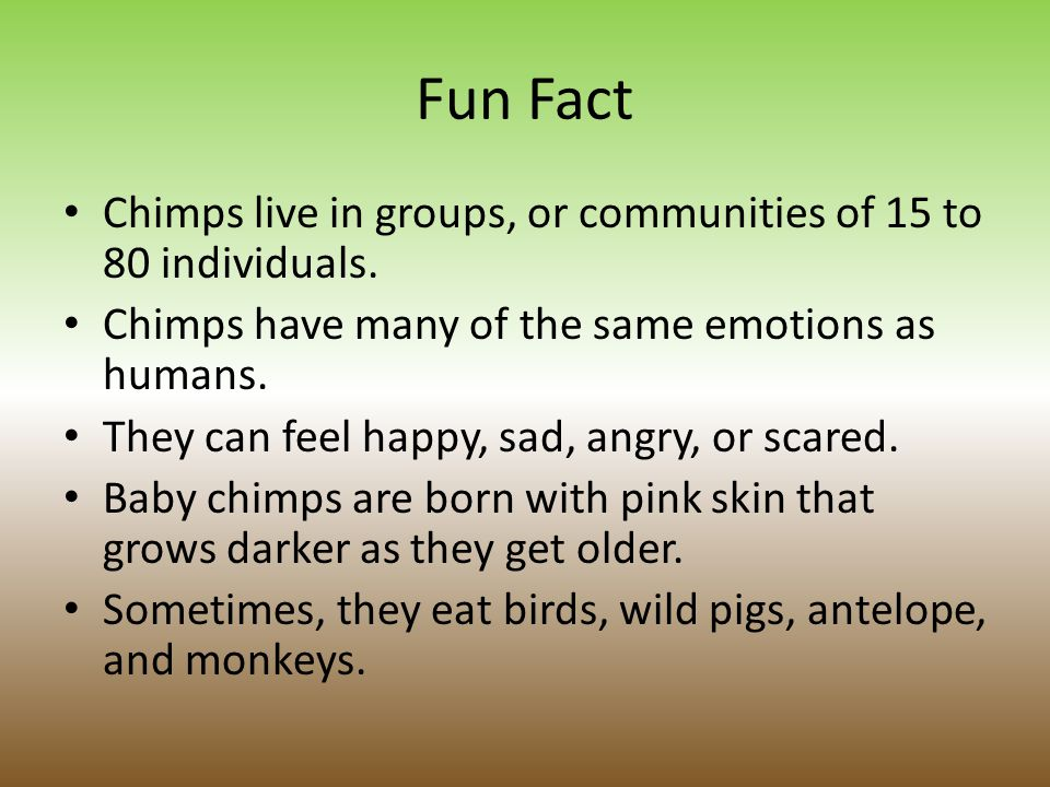 Fun Fact Chimps live in groups, or communities of 15 to 80 individuals. Chimps have many of the same emotions as humans.