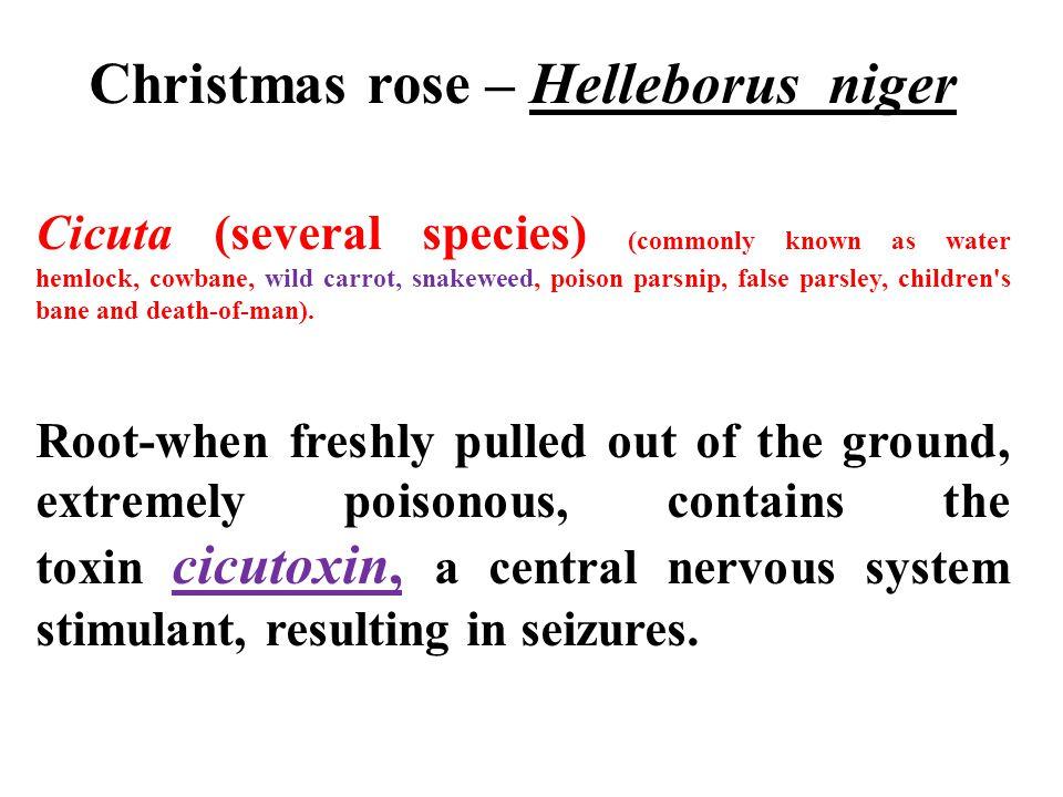 Christmas rose – Helleborus niger