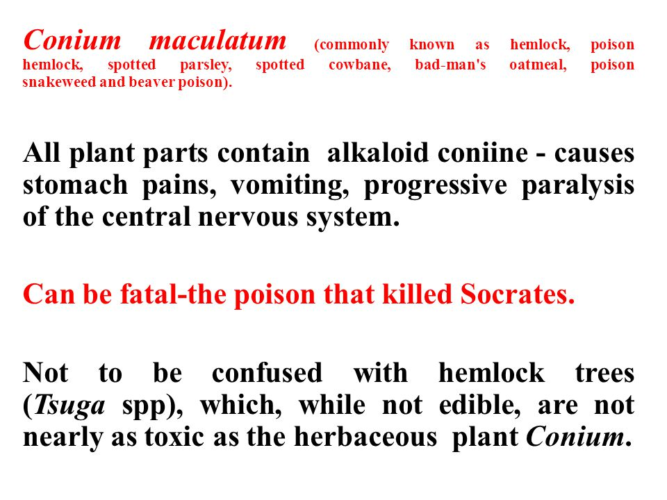 Conium maculatum (commonly known as hemlock, poison hemlock, spotted parsley, spotted cowbane, bad-man s oatmeal, poison snakeweed and beaver poison).