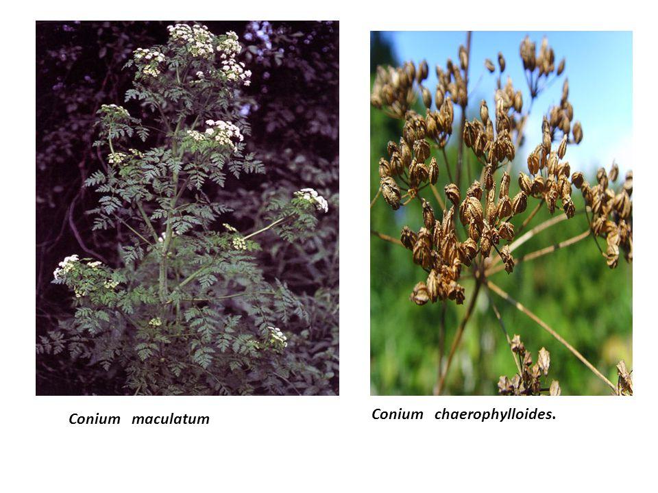 Conium chaerophylloides.