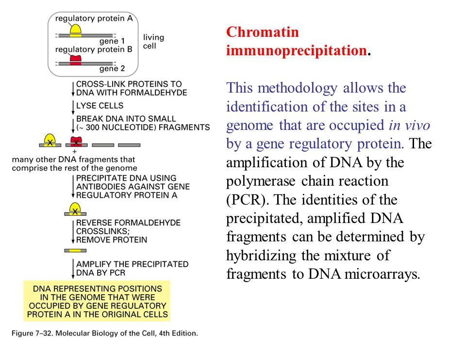 Chromatin immunoprecipitation.
