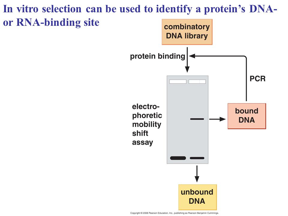 In vitro selection can be used to identify a protein's DNA- or RNA-binding site