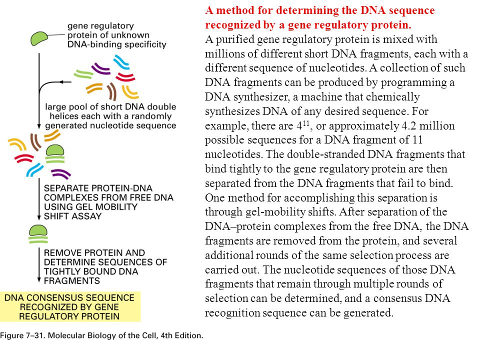 A method for determining the DNA sequence recognized by a gene regulatory protein.