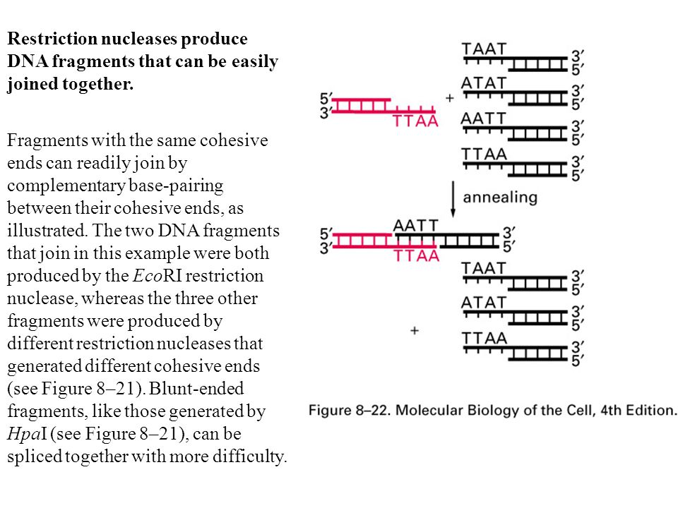 Restriction nucleases produce DNA fragments that can be easily joined together.