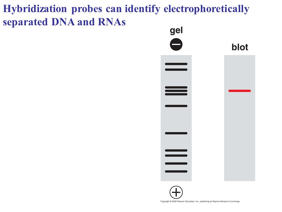 Hybridization probes can identify electrophoretically separated DNA and RNAs