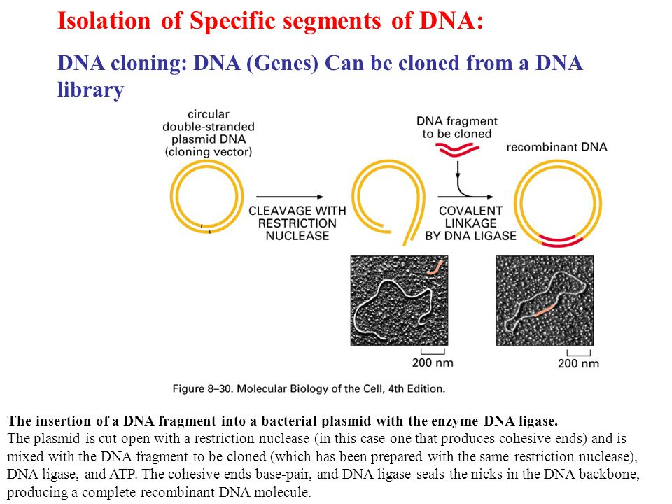 Isolation of Specific segments of DNA: