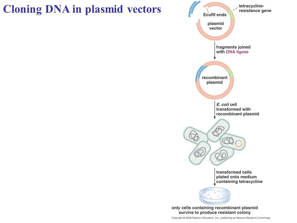 Cloning DNA in plasmid vectors